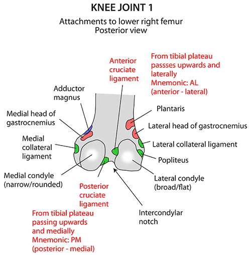 Instant Anatomy - Lower Limb - Muscles