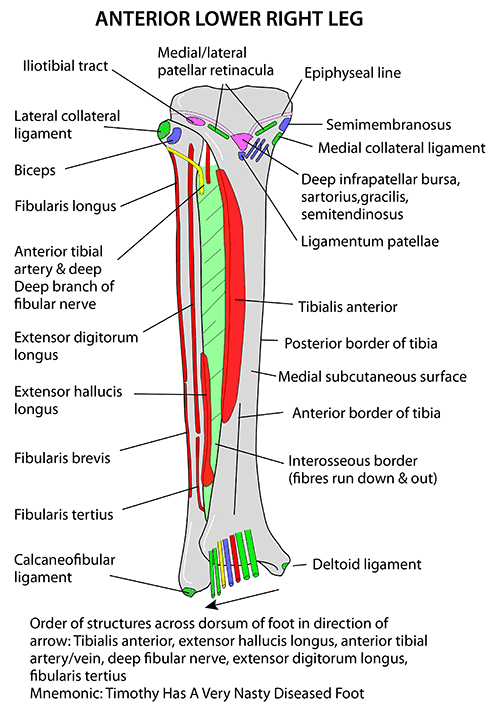 Instant Anatomy Lower Limb Muscles Tibia