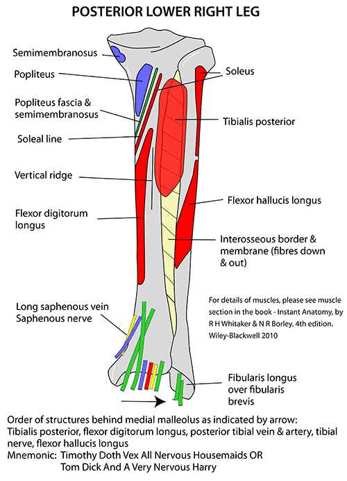 Instant Anatomy - Lower Limb - Areas  Organs - Lower Leg