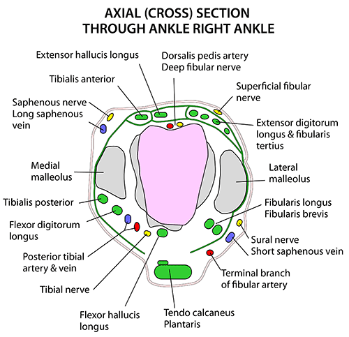 Instant Anatomy Lower Limb Joints Ankle Cross Section