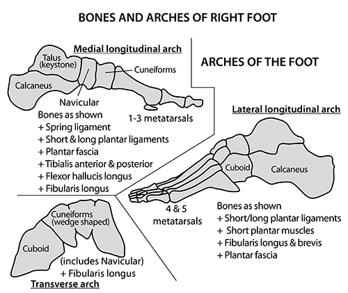 Instant Anatomy - Lower Limb - Areas/Organs - Foot - Right talus