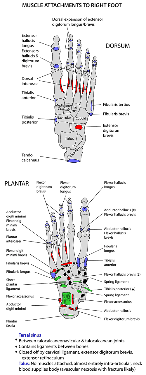 Instant Anatomy Lower Limb Muscles Foot Bones