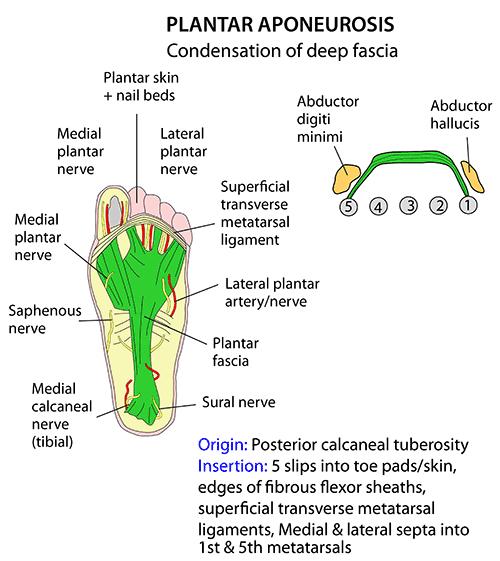 Plantar aponeurosis anatomy