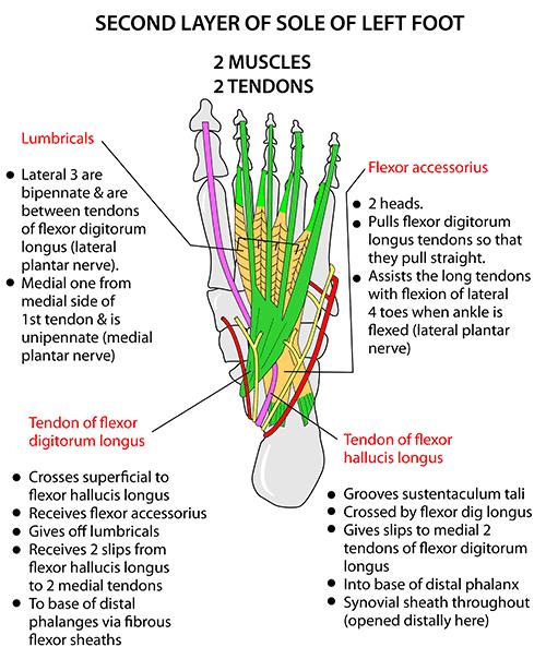 Instant Anatomy Lower Limb Areas Organs Foot