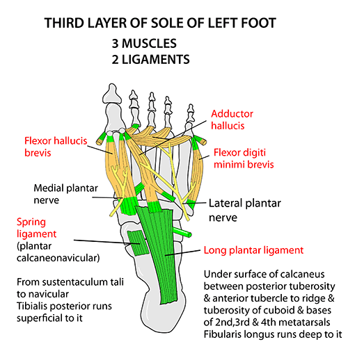 Instant Anatomy - Lower Limb - Areas/Organs - Foot - Plantar ...