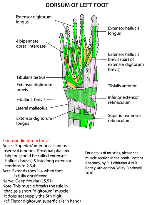 Instant Anatomy - Lower Limb - Areas/Organs - Foot - Dorsal tendons
