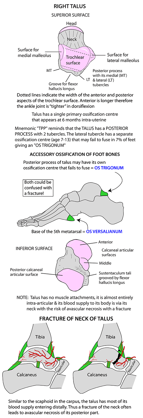 Instant Anatomy - Lower Limb - Areas/Organs - Foot - Bony anomalies