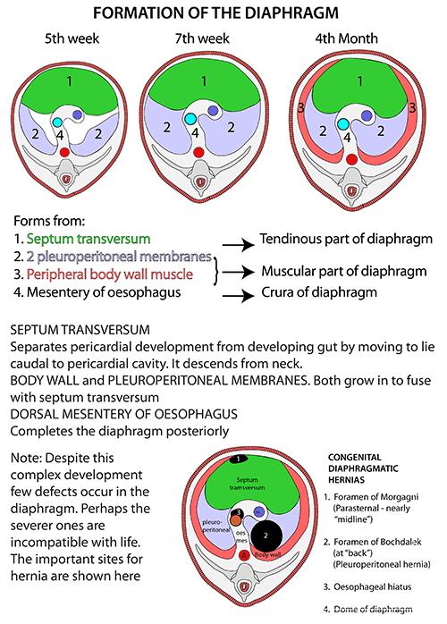 Instant Anatomy Thorax Areasorgans Diaphragm Development