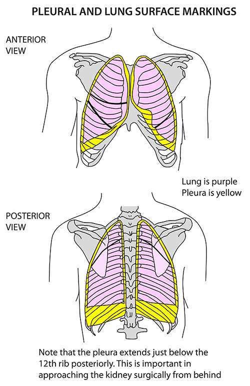 Instant Anatomy Thorax Surface Pleura