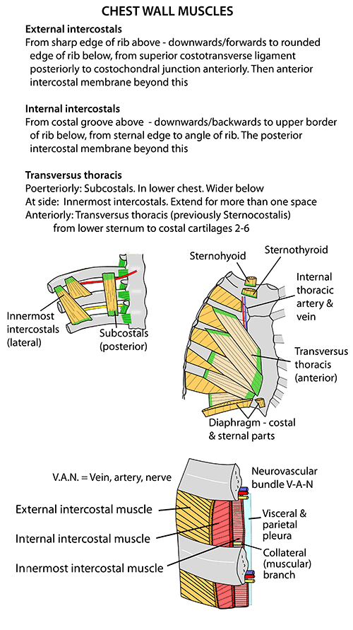 Instant Anatomy Thorax Areasorgans Chest Wall Muscles