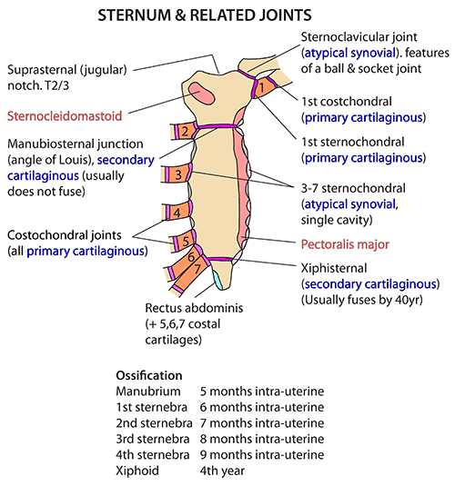 Instant Anatomy - Thorax - Areas/Organs - Sternum - Attachments