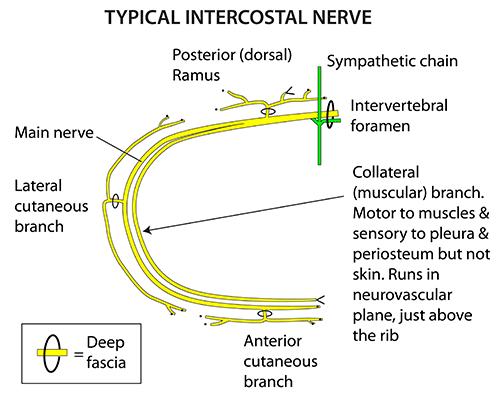 instant anatomy thorax nerves typical intercostal nerveRib Nerve Diagram #11