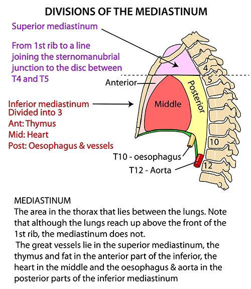 anterior mediastinum anatomy - photo #1