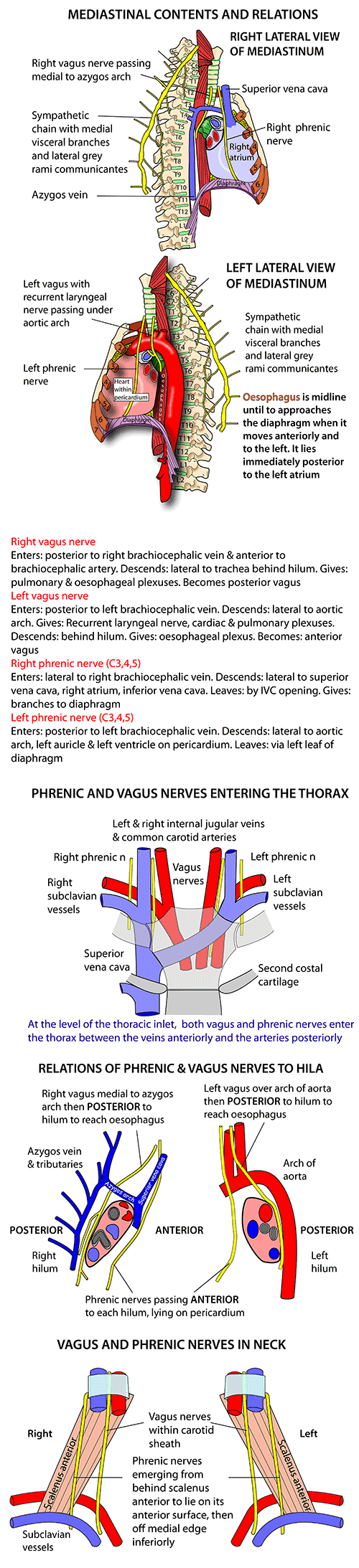 Instant Anatomy - Thorax - Nerves - Vagus