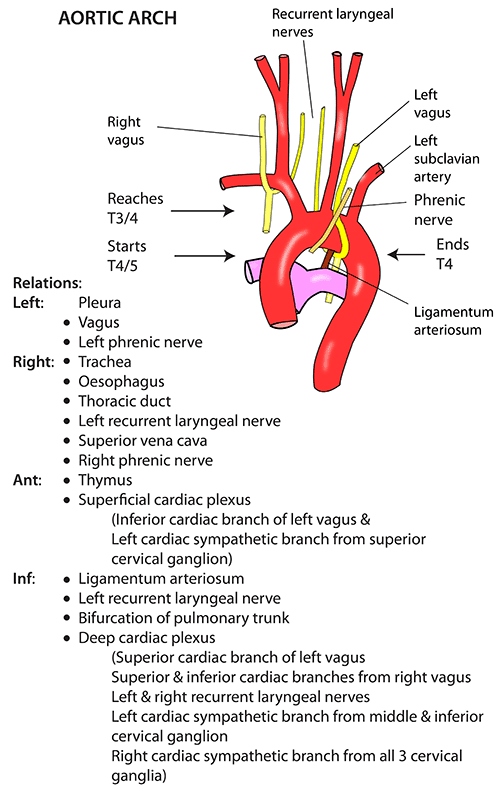 Instant Anatomy Thorax Vessels Arteries Arch Of Aorta