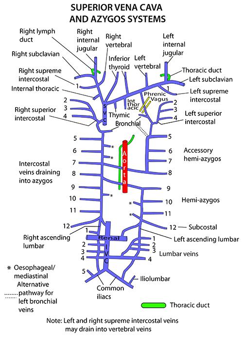 Venous anatomy chest