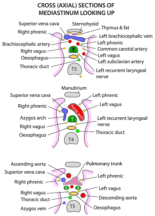 Instant Anatomy - Thorax - Areas/Organs - Mediastinum - Cross sections
