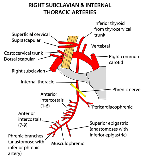 Instant Anatomy Thorax Vessels Arteries Internal Thoracic