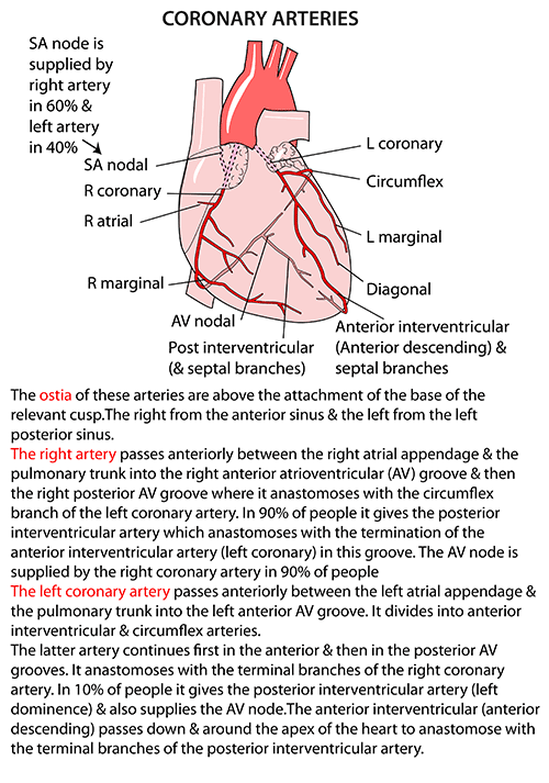 Instant Anatomy - Thorax - Areas/Organs - Heart - Coronary arteries