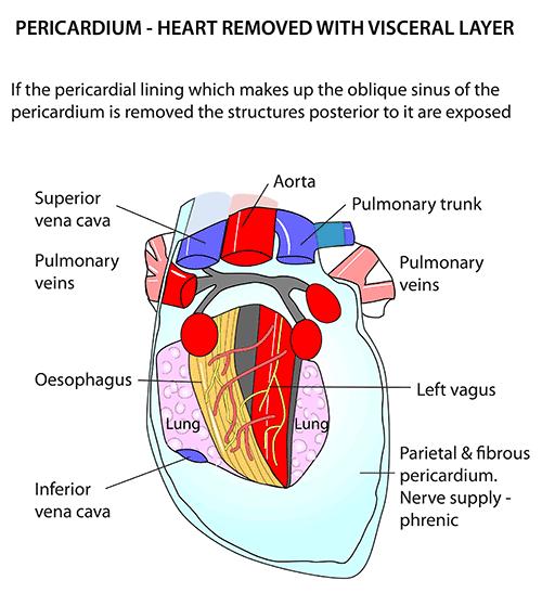 Instant Anatomy - Thorax - Areas/Organs - Heart - Pericardium