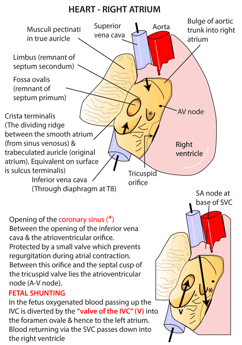 Instant Anatomy - Thorax - Areas/Organs - Heart - Right Atrium