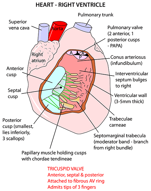 Instant anatomy thorax areasorgans heart tricuspid valve ccuart Choice Image